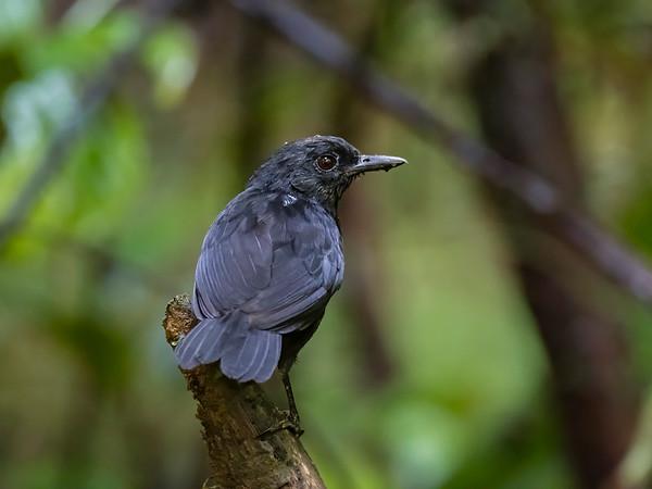 Stub-tailed Antbird