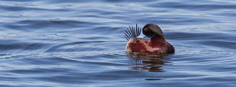 Blue-billed Duck    ♂