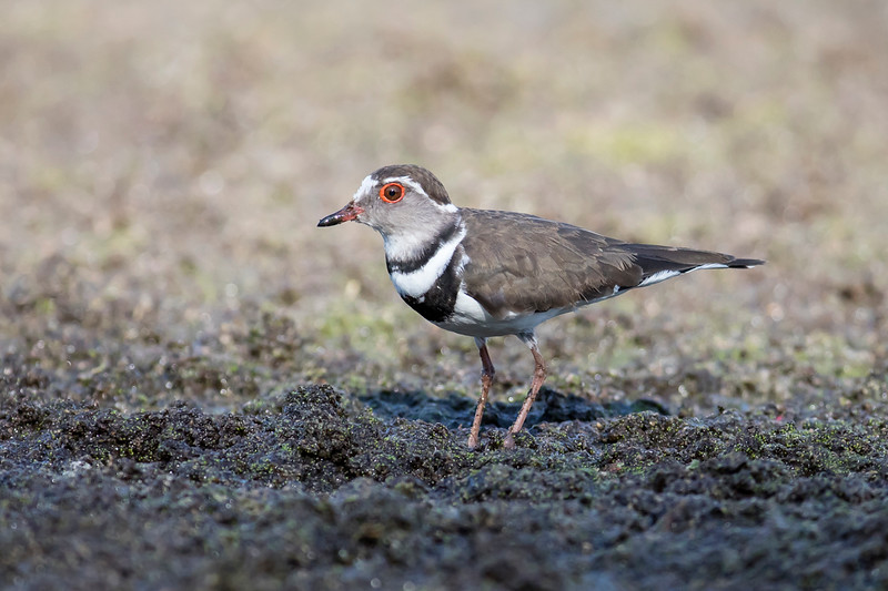 African Three-banded Plover