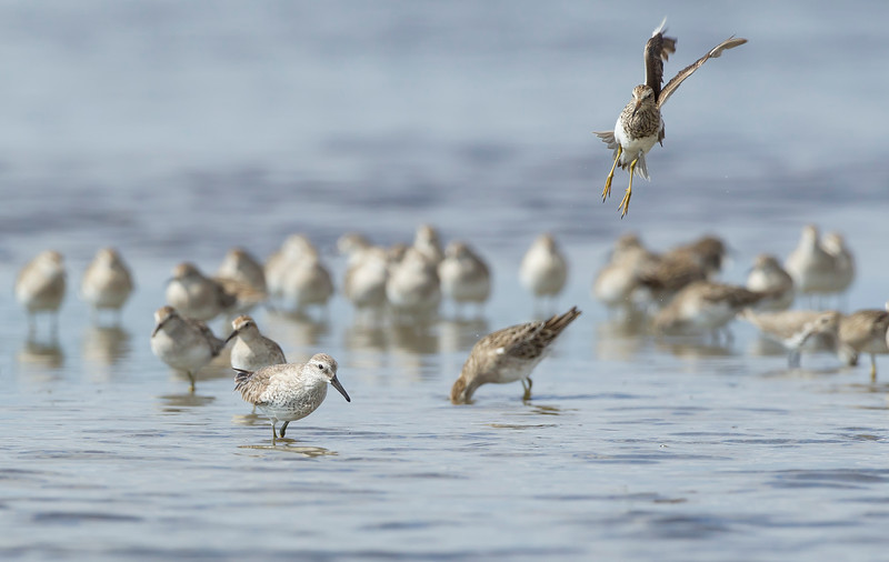 Pectoral Sandpiper (in flight), Red Knot & Sharp-tailed Sandpiper), Lake McLarty, Western Australia 01.01.2012