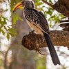 Yellow Billed Hornbill, Kruger National Park, South Africa.