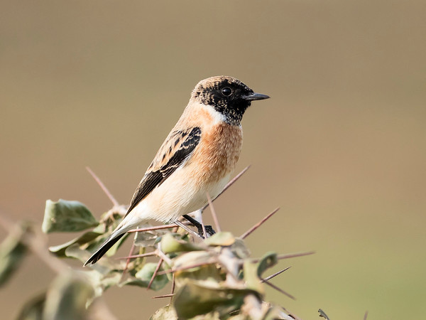Common (Siberian) Stonechat
