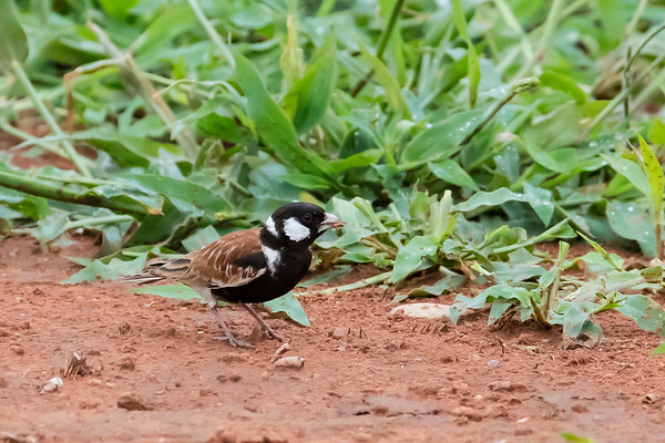 Chestnut-backed Sparrow-lark