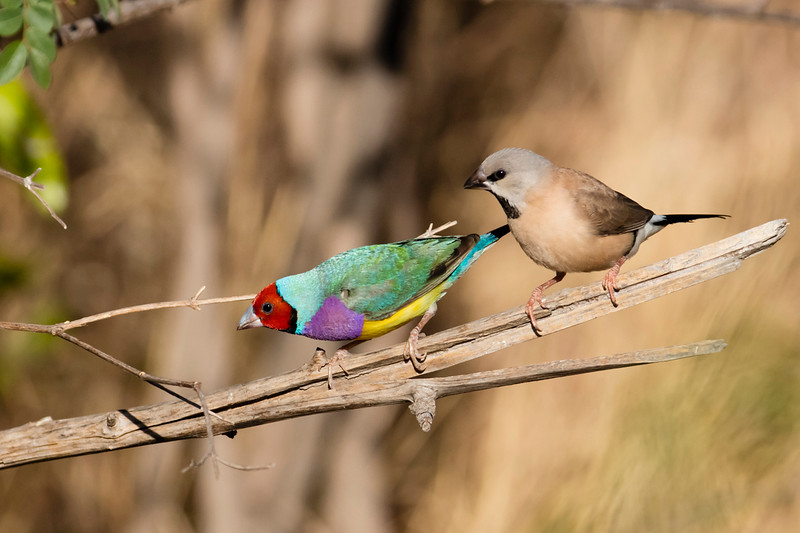 Gouldian Finch & immature Long-tailed Finch