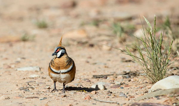 White-bellied Spinifex Pigeon