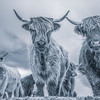 Cool Cows