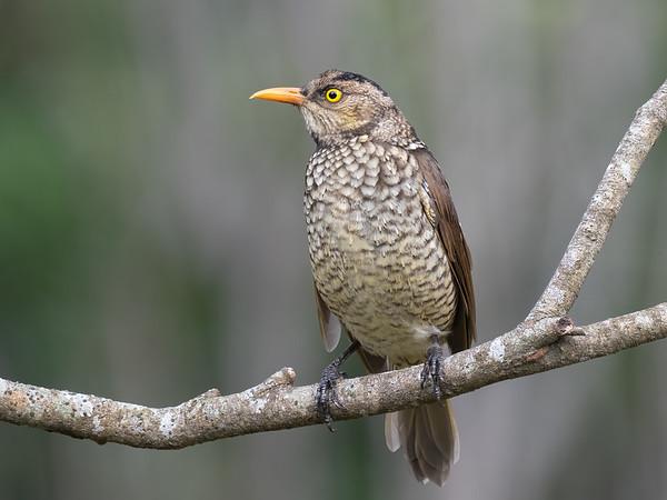 Regent Bowerbird (immature male)
