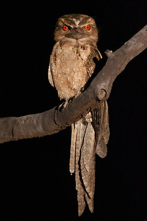 Papuan Frogmouth    ♀
