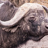 Cape Buffalo, Kruger National Park, South Africa.