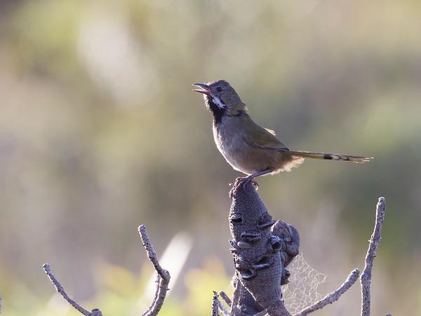 Black-throated Whipbird