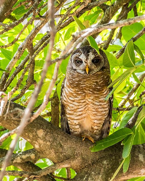 Marsh Owl, Kruger National Park, South Africa.