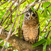 Marsh Owl, Kruger National Park, South Africa.