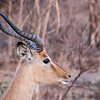 Young Imapala Ram, Kruger National Park, South Africa
