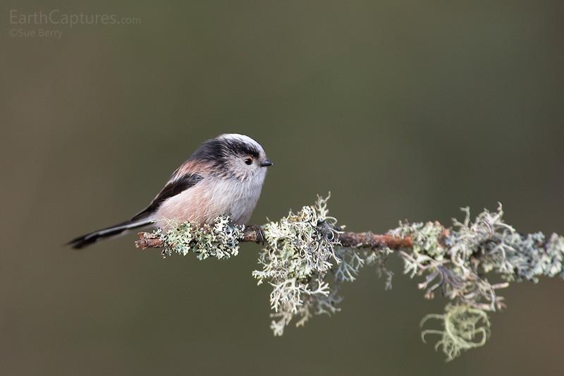 Long Tailed Tit, Scotland, Bird
