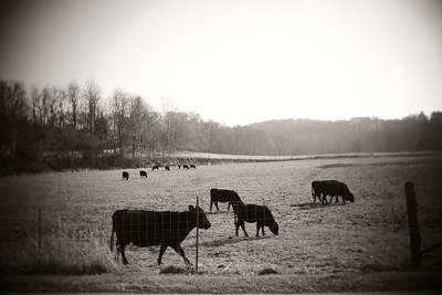 Cows---Near Peach Bottom, PA