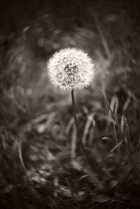 Dandelion---Norristown, PA