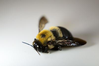 Carpenter Bee---Norristown, PA