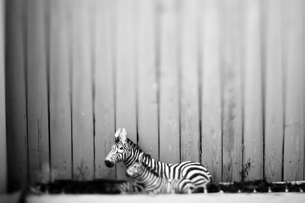 Zebras---Wilkes-Barre, PA
