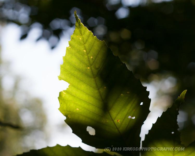 Sun and Leaf