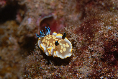 Tom Smith's Nudibranch - Ardeadoris tomsmithi