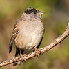 Goldened-crowned Sparrow