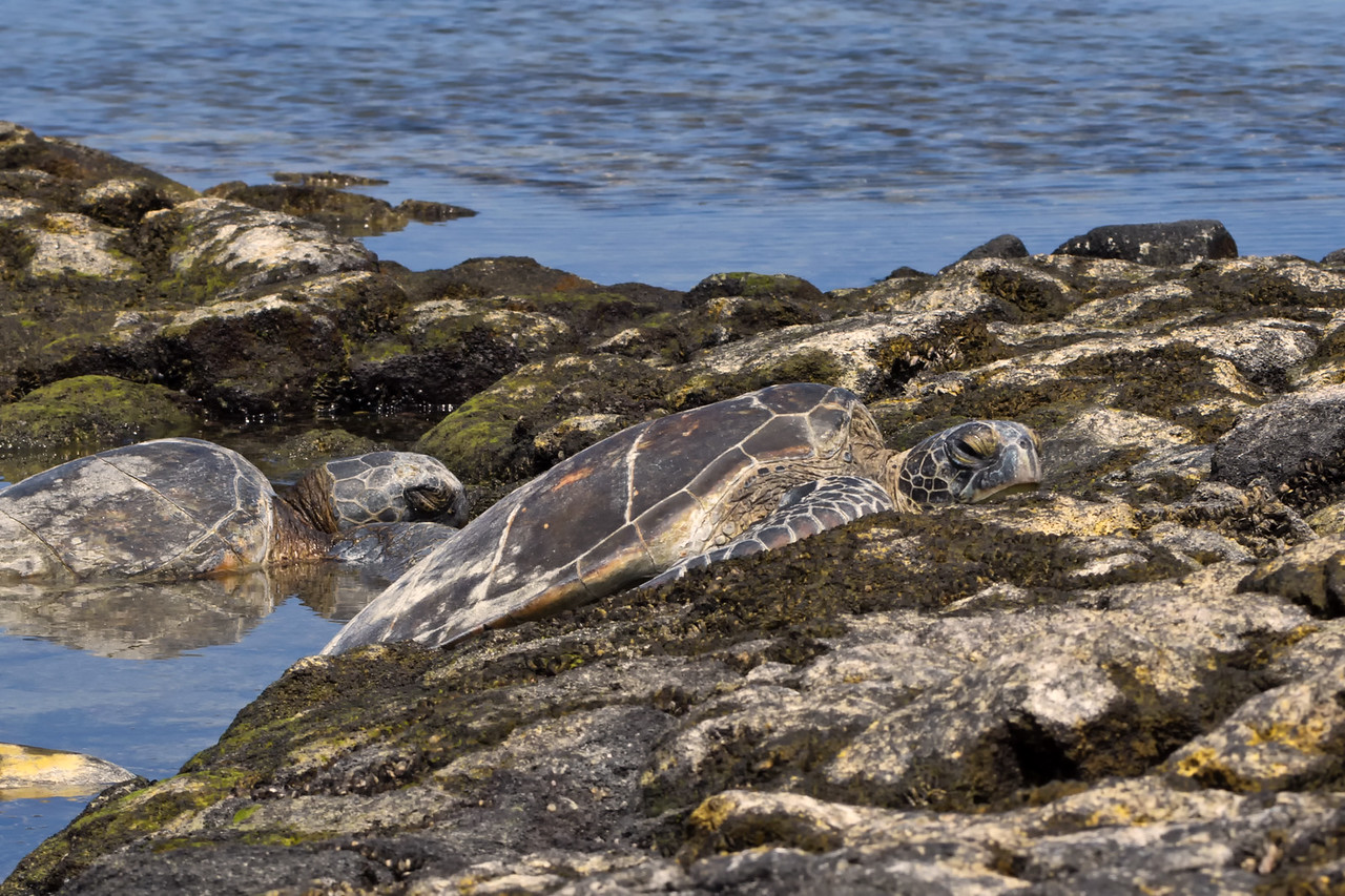 Basking Honu (Green Sea Turtle -- Chelonia mydas)
