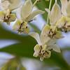 """Nectar""<br /> (Asclepias physocarpa)"