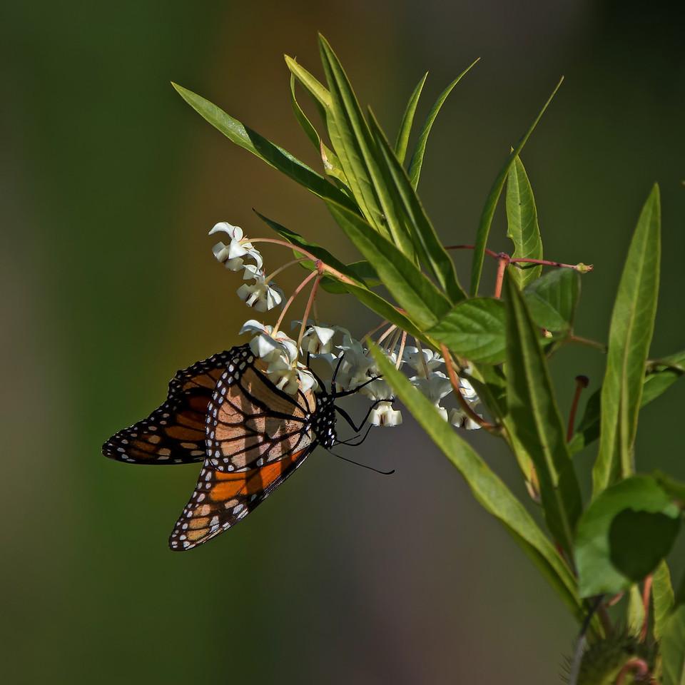 """""""Merry Monarch""""<br /> (Danaus plexippus)"""