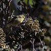 Maui ʻalauahio<br /> (paroreomyza montana newtoni)