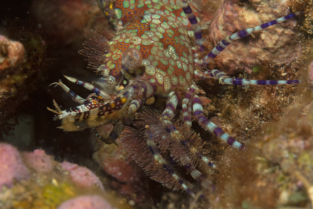 """Mosaic""<br /> (Marbled shrimp - Saron marmoratus)"