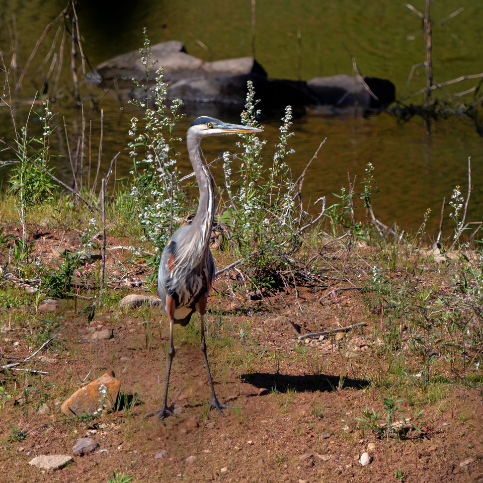 Great Blue Heron (Ardea herodias)<br /> Meriden, CT