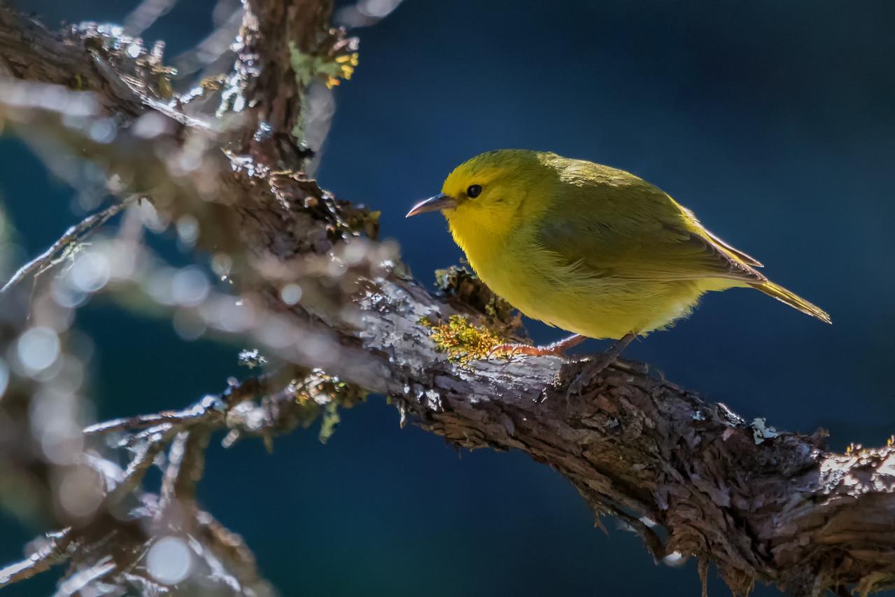 """Share The Morning""<br /> (Maui ʻAlauahio - Paroreomyza montana)"