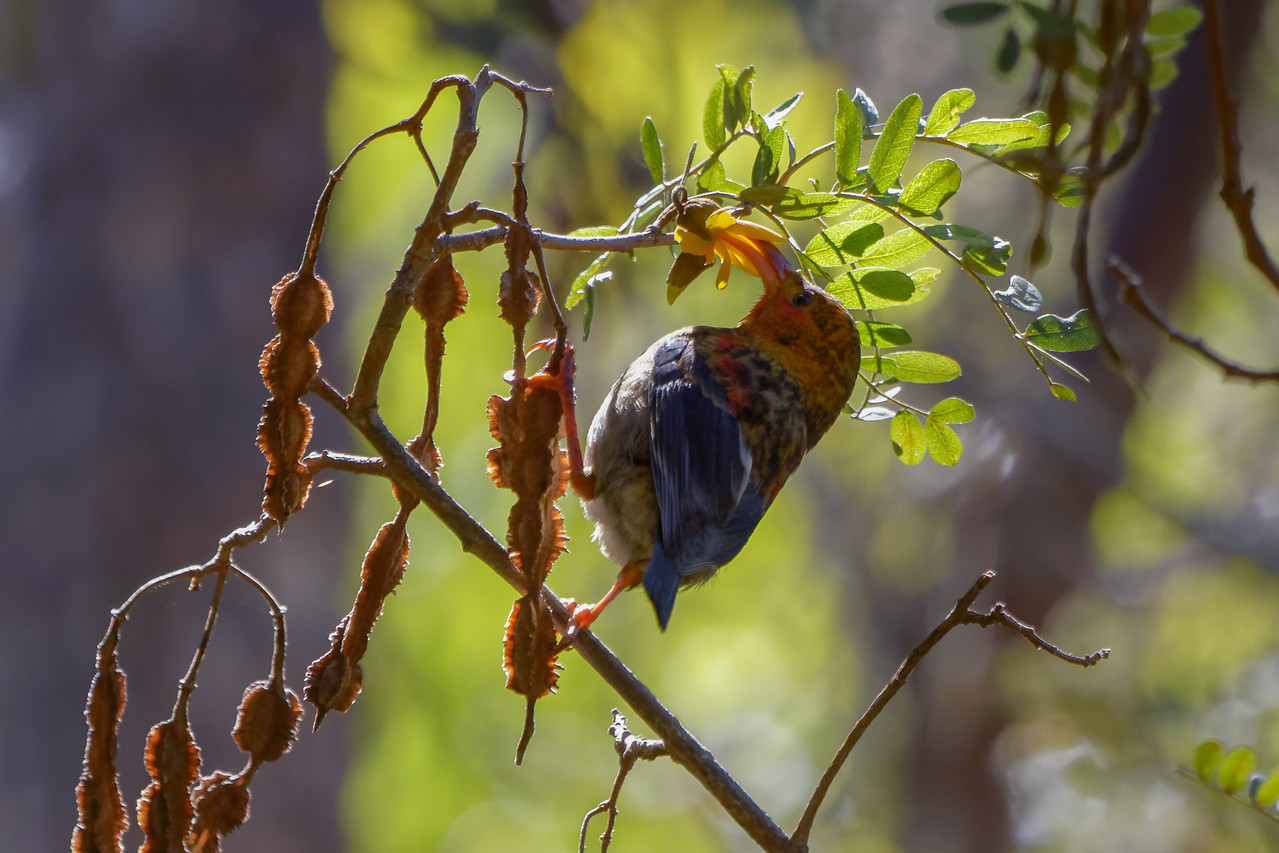Juvenile I'iwi (Vestiaria coccinea) sips the last flower on a Māmane (Sophora chrysophylla) gone to seed.