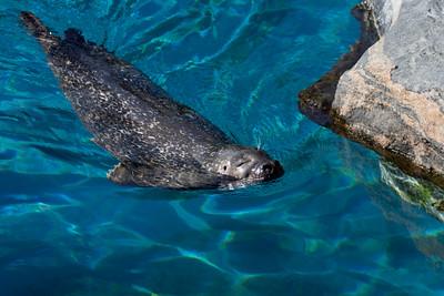 Harbor seal (Mystic Aquarium)
