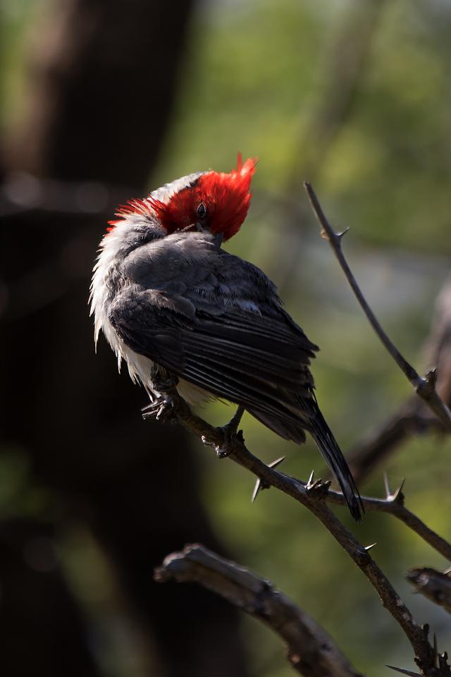 """Ruffled Feathers""<br /> (Paroaria coronata)"