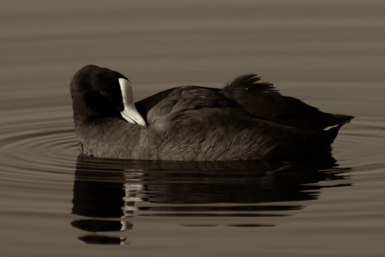 """Reflections""<br /> (Fulica alai)"