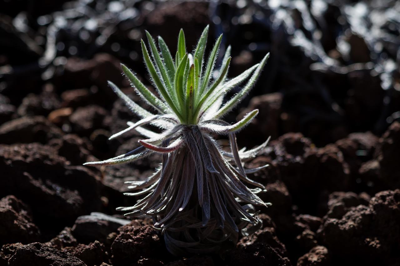 """""""Beginnings""""<br /> (Haleakala Silversword -- argyroxiphium sandwicense subsp. macrocephalum)"""