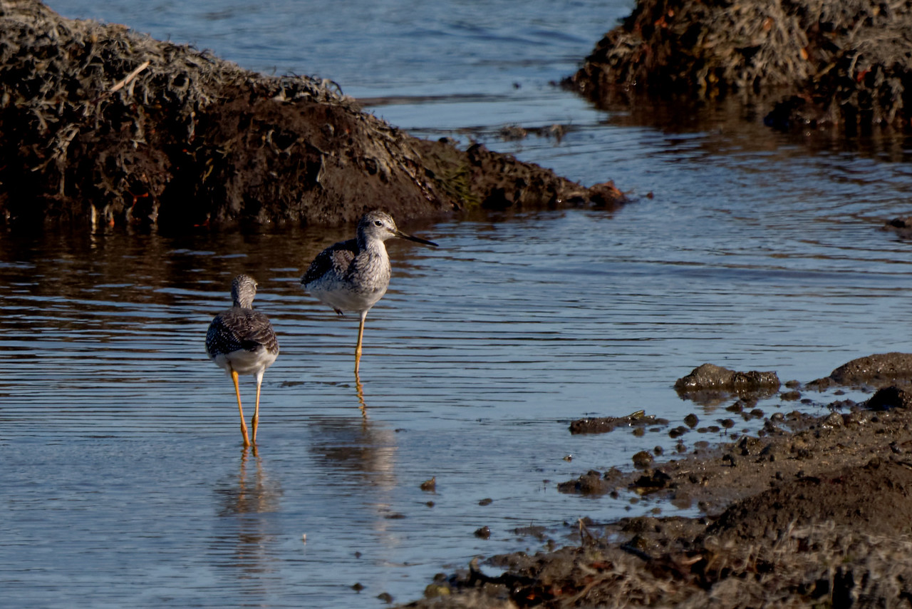 Lesser Yellowlegs (Tringa flavipes)<br /> Mystic, CT
