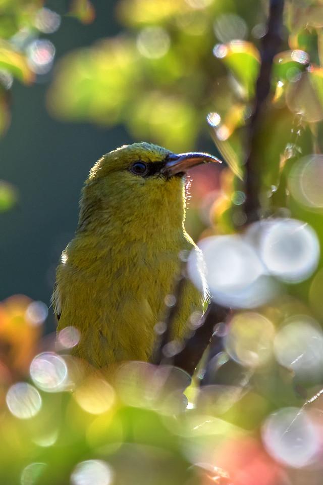 """""""Forest Home""""<br /> (Maui 'Amakihi -- Hemignathus virens)"""