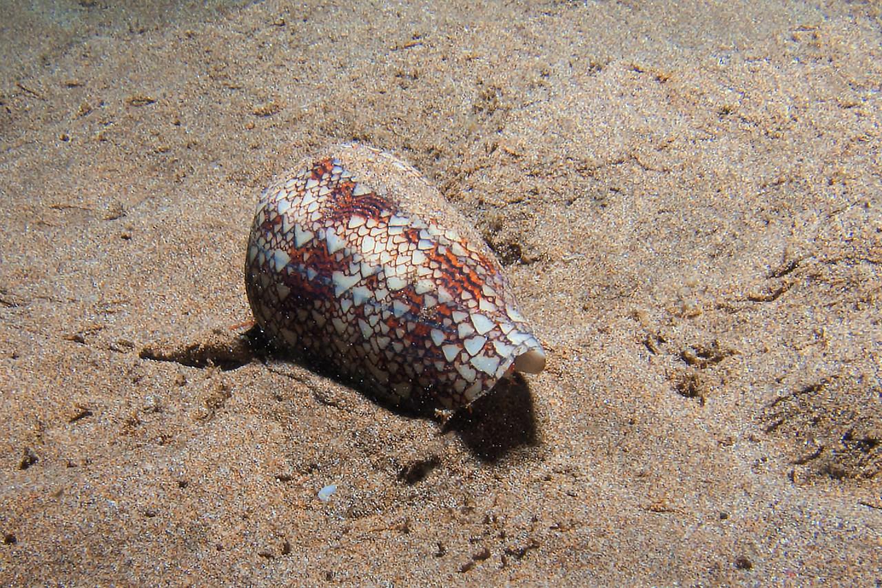 Textile cone<br /> (Conus textile)