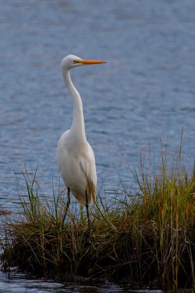 Great Egret (Ardea alba)<br /> Mystic, CT