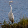 Great Egret (Ardea alba)<br /> Mystic, CT