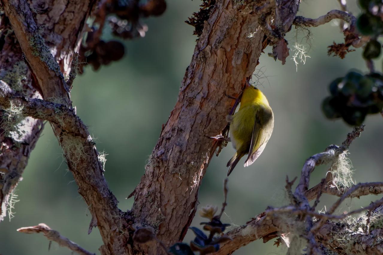 Maui ʻAlauahio - Paroreomyza montana