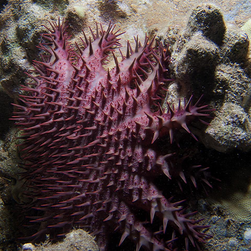 Crown  of Thorns Sea Star<br /> (Acanthaster planci)