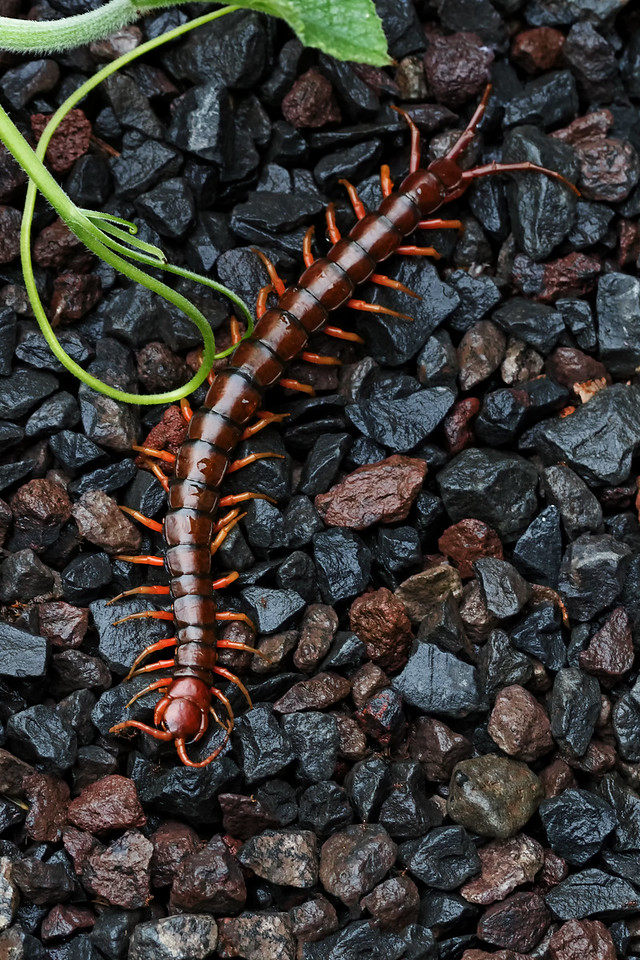 Scolopendra subspinipes