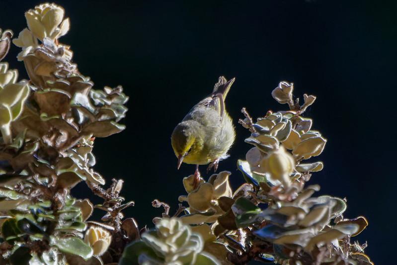 """""""Hop""""<br /> (Maui ʻAlauahio - Paroreomyza montana)"""
