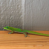 Gold Dust Gecko <br /> (Phelsuma laticauda)
