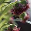 """""""Flowering""""<br /> (Argyroxiphium sandwicense subsp. macrocephalum)"""