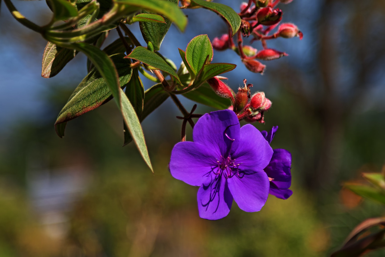 """Colors Of Spring""<br /> (Tibouchina semidecandra)"
