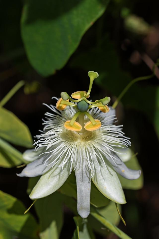 """""""Passion Flower""""<br /> (liliquoi - Passiflora edulis Sims)"""